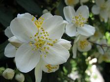 Jasmine Fragrance มะลิ (1 kg)